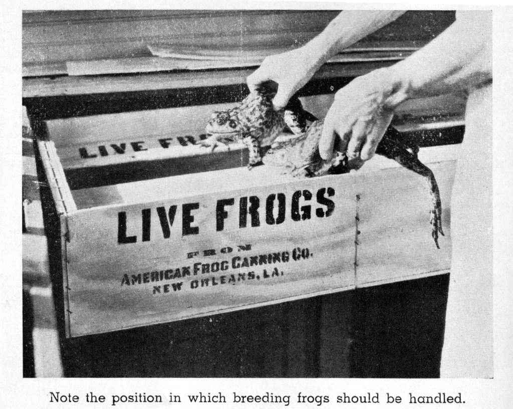 """A black and white photo of a frog being put into a container that reads """"Live Frogs from American Frog Canning Co. New Orleans, LA."""" There are 2 light skinned arms reaching from the top right corner holding a frog in each hand. There's a caption at the bottom which reads """"Note the position in which breeding frogs should be handled."""""""