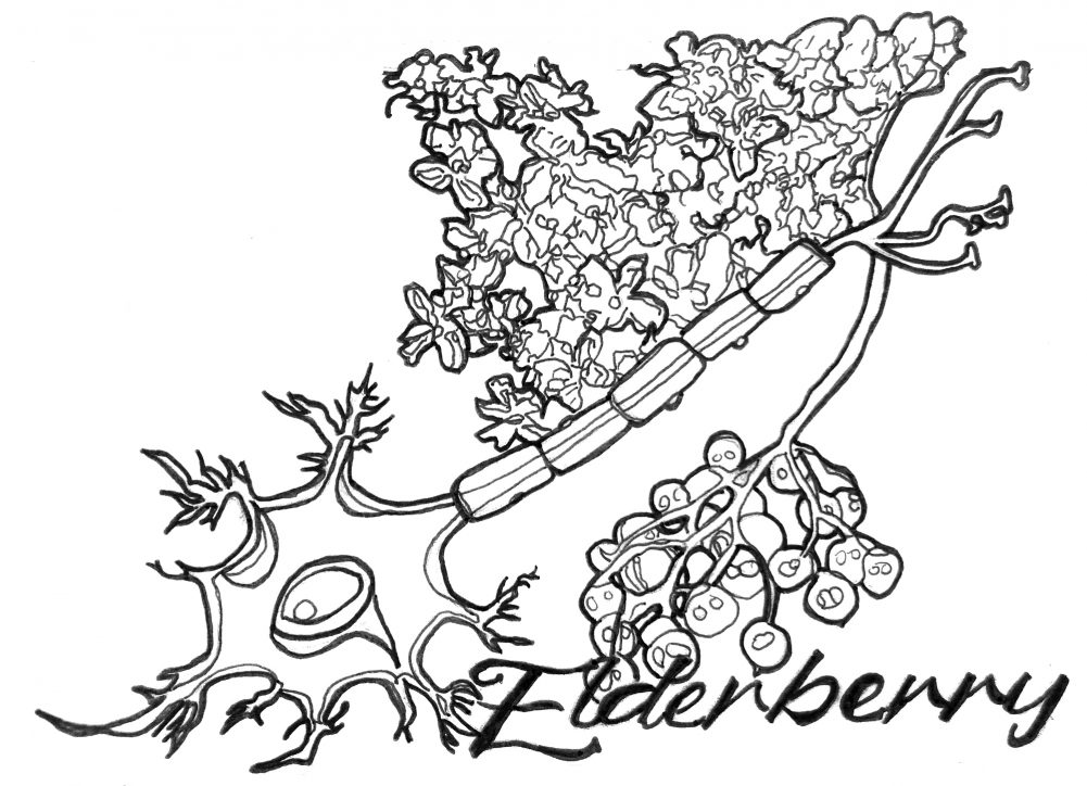 """A black and white illustration of weeds, and at the bottom reads """"Elderberry."""" The plant has a stem, leaves, and berries. Illustration by Rachel Speck."""